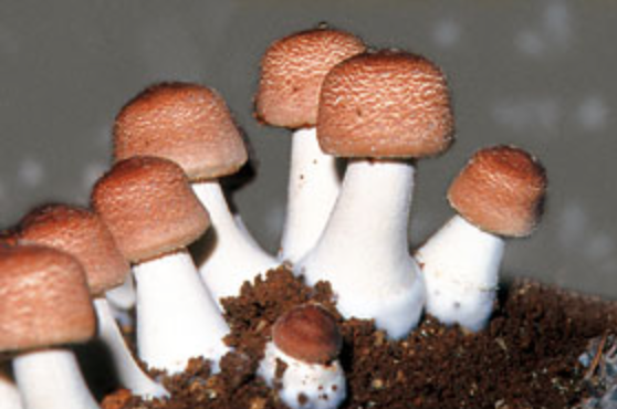 Agaricus Mushrooms